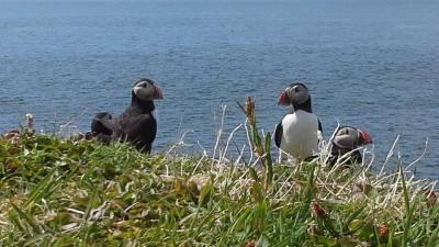 สก๊อตแลนด์ (Puffin on Treshnish Isles, Isle of Mull, Scotland)