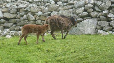 สก๊อตแลนด์ (St Kilda Soay Sheep, Scotland.)