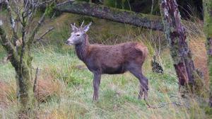สก๊อตแลนด์ (Wild Deer in Glen Evite, Scotland)