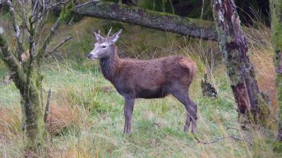สก๊อตแลนด์ (Wild Deer in Glen Evite, Scotland)