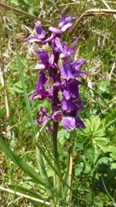 สก๊อตแลนด์ (Wild Orchid flower Isle of Mull)